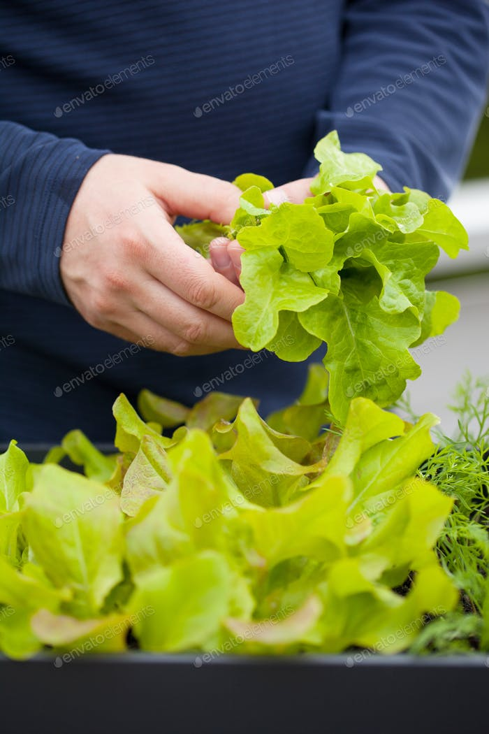 man gardener picking salad from vegetable container garden on ba