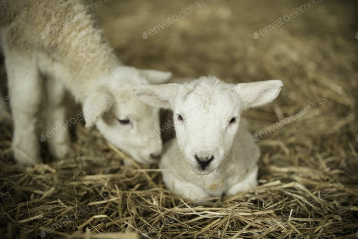 Newborn lambs, two white lambs in a lambing shed.