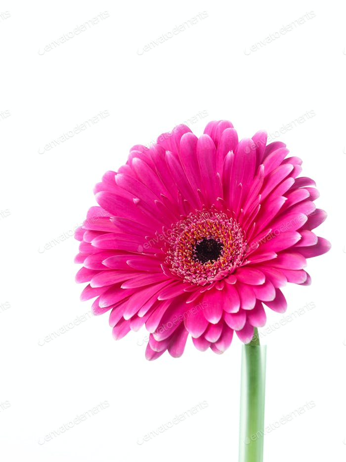 Pink and white gerbera looking upwards