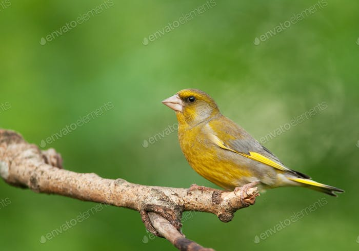 Male of  European greenfinch (Chloris chloris)