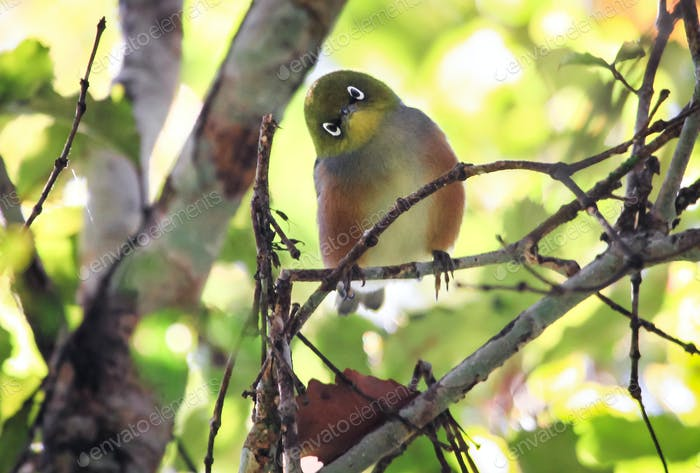 Silvereye Bird Perched in New Zealand