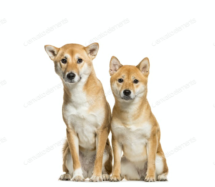 Two Shiba Inu Dogs Sitting together, cut out