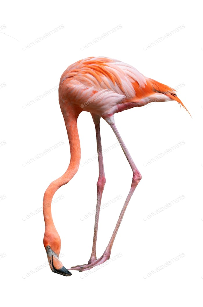 american flamingo bird (Phoenicopterus ruber) isolated on white background