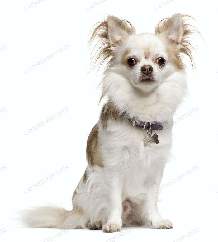 Chihuahua, 6 years old, sitting in front of white background
