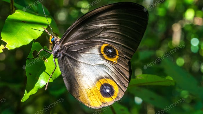 Close- up view of a beautiful Butterfly, Gam Island, Raja Ampat, Indonesia, West Papua