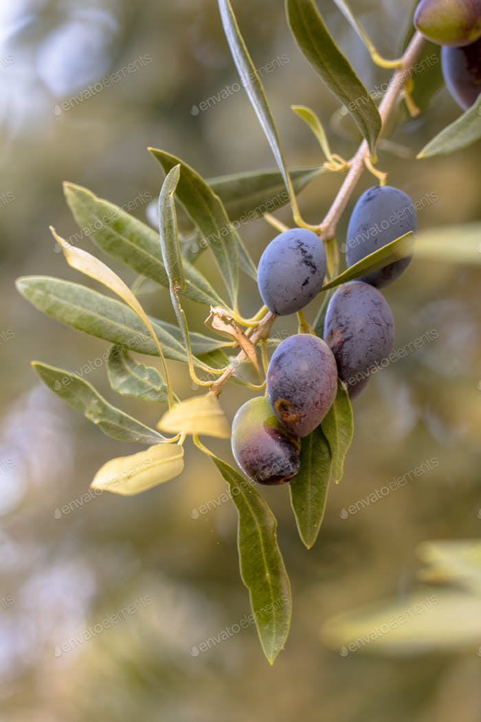 Group of Black olives on olive tree