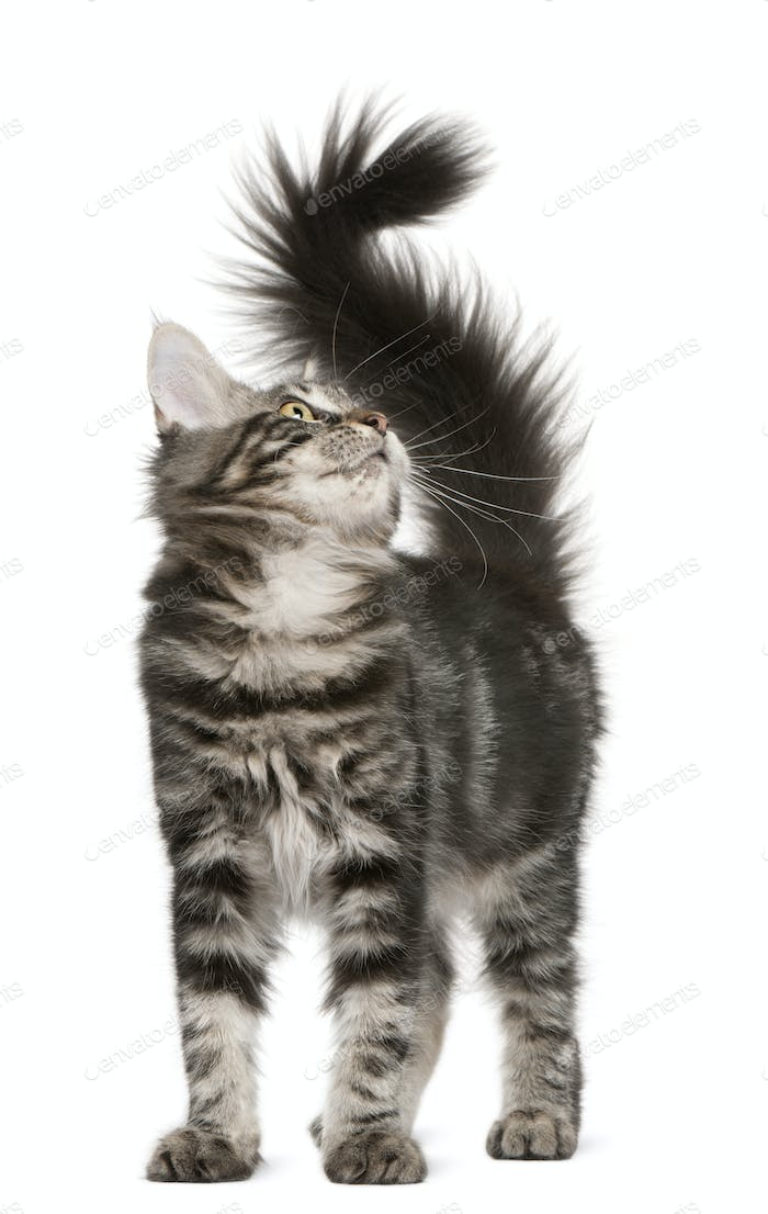 Maine Coon kitten (4 months old)