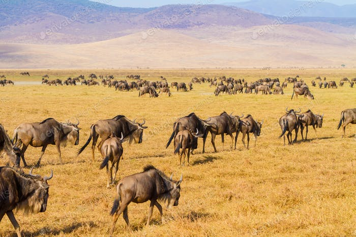 Herds of wildebeests walking in Ngorongoro