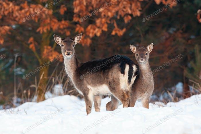 Fallow deer doe and fawn standing close and facing camera