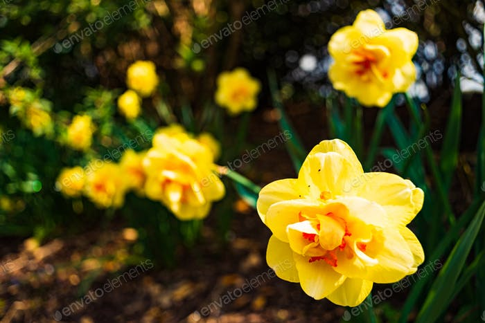 Yellow Daffodil Narcissus flowers outdors in spring. Nature flowers background