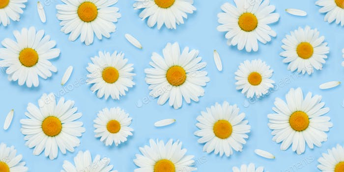 Camomile flower seamless texture