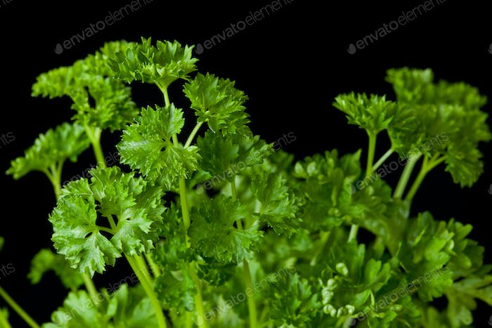 Bunch of parsley against a black background