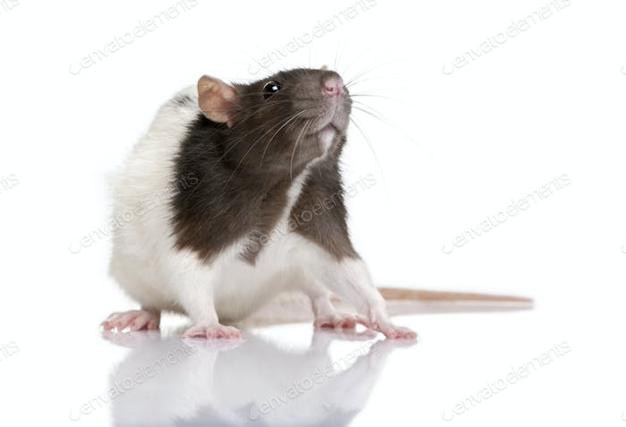 Rat, 1 year old, standing in front of a white background, studio shot