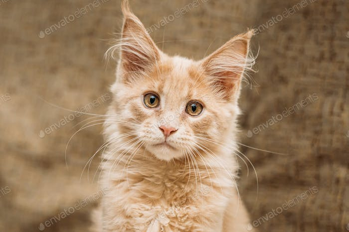 Funny Young Red Ginger Maine Coon Kitten Cat Portrait. Coon Cat, Maine Cat, Maine Shag looking at