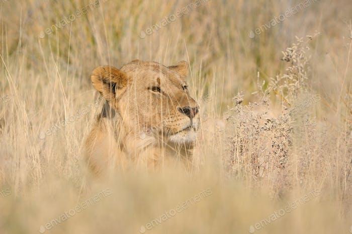 León escondido