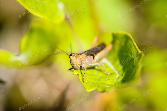 Grasshopper sitting on a leaf, Green background