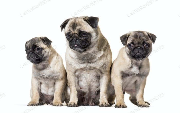 mother Pug and her puppies sitting against white background