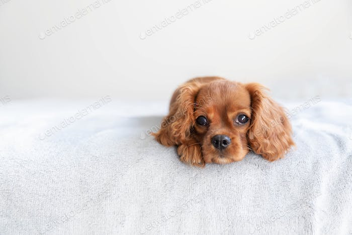 Cute puppy on the bed