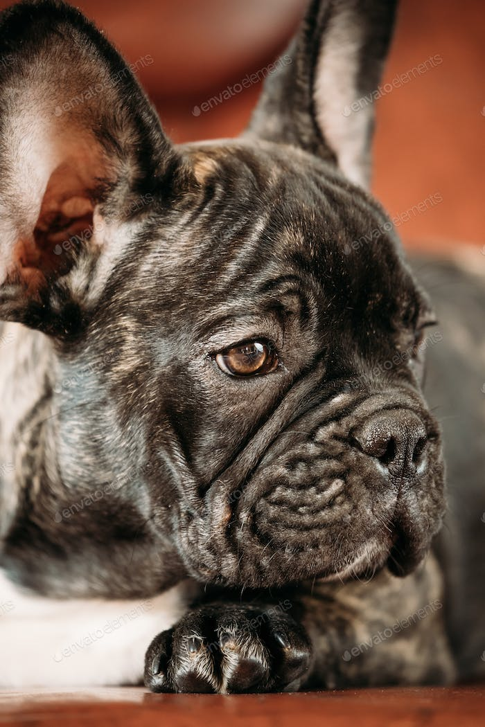 Close Up Potrait Of Young Black French Bulldog Dog Puppy