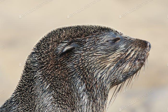 The head of a cape fur seal,Arctocephalus pusillus,at the beach