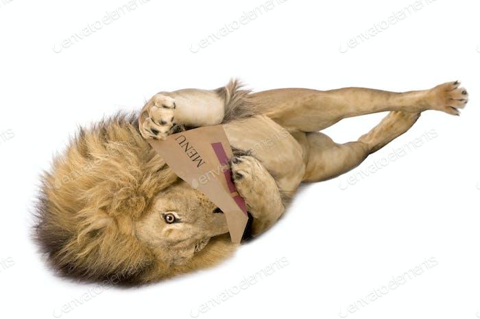 Lion (8 years) - Panthera leo