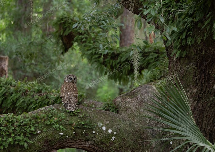 A Barred Owl in Florida