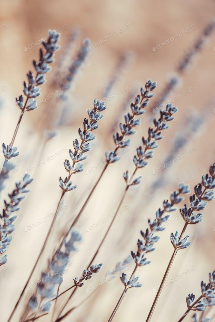 Lavender Flowers Background