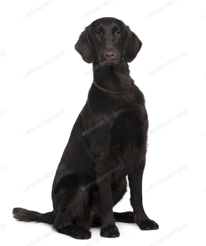 Flat-Coated Retriever, 9 months old, sitting in front of white background
