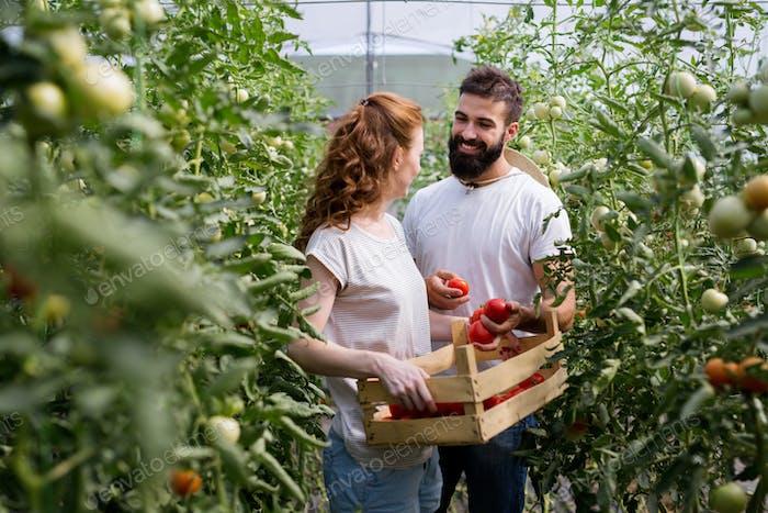 Junge lächelnde Landwirtschaft Frau Arbeiter Ernte Tomaten im Gewächshaus