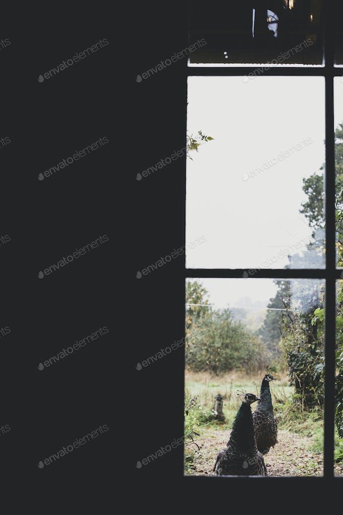 Two peafowl in a garden seen through glass door.