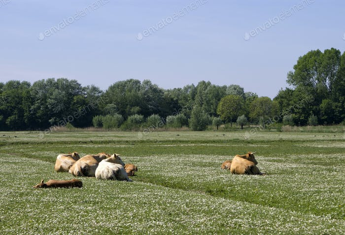 Cows on a field