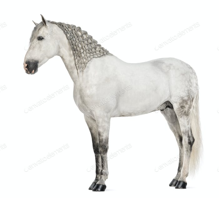 Side view of a Male Andalusian with plaited mane, 7 years old, also known as the Pure Spanish