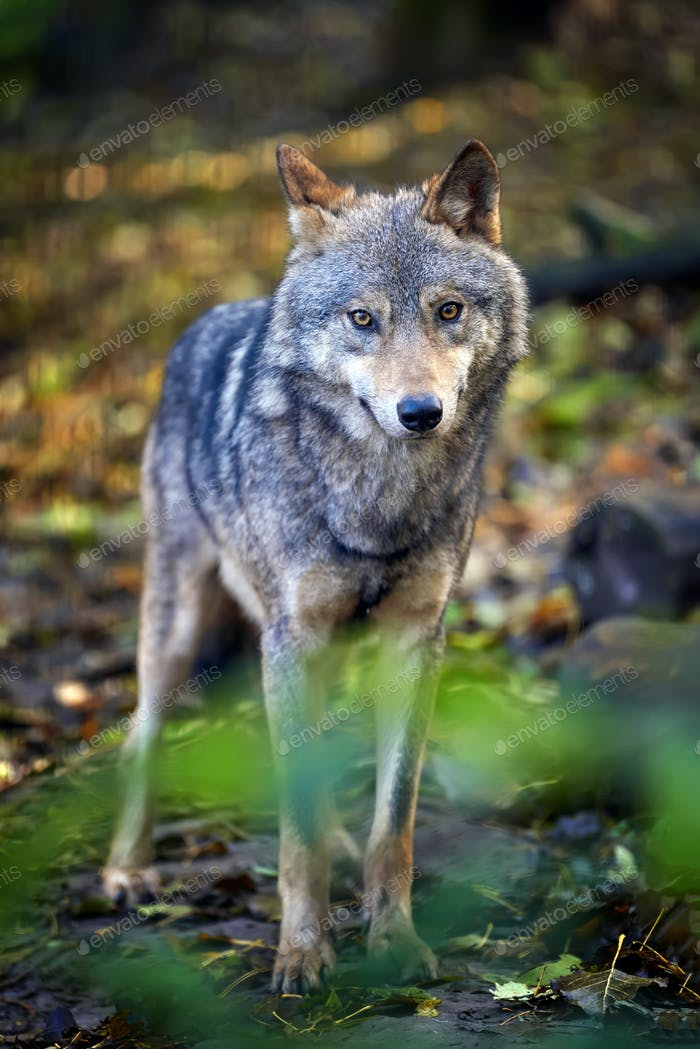 Wolf in autumn forest