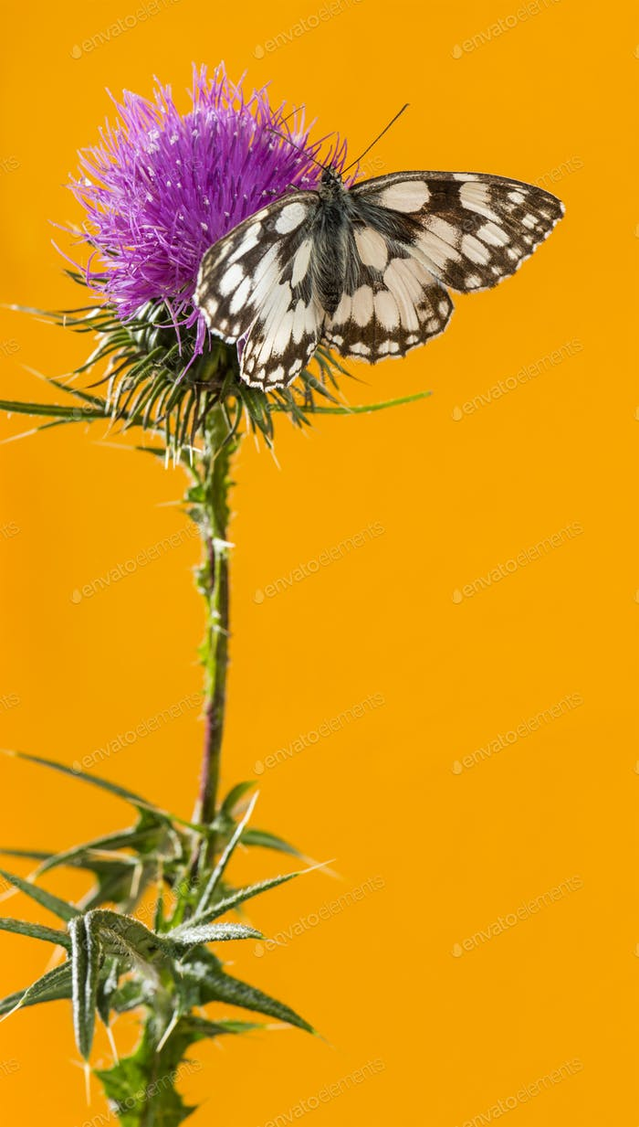 Marbled white, Melanargia galathea, on a thistle in front of an orange background