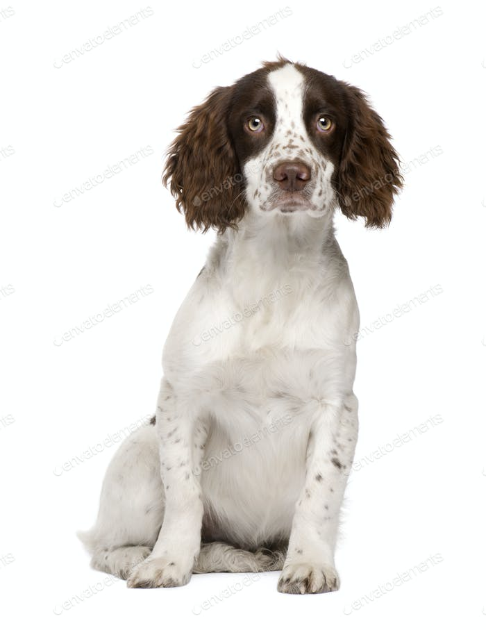 English Springer Spaniel puppy (4 months)