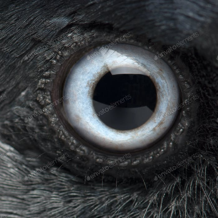 Close-up on the eye of a Western Jackdaw, Corvus monedula