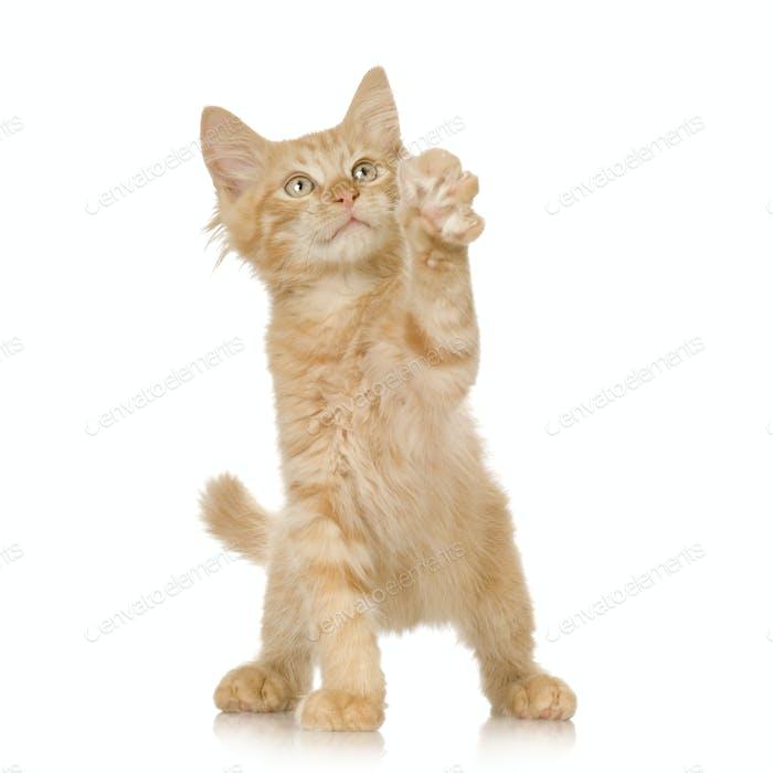Ginger Cat kitten