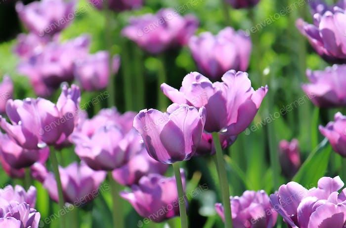 schöne Tulpen