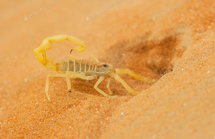 Arabian Scorpion Digging a Burrow