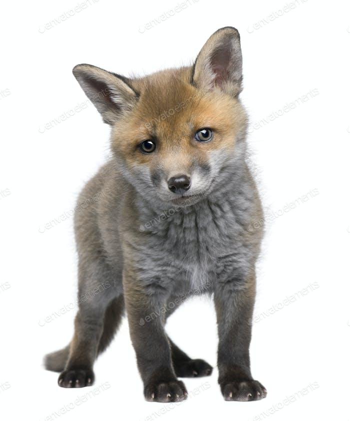 Red fox cub (6 Weeks old)- Vulpes vulpes