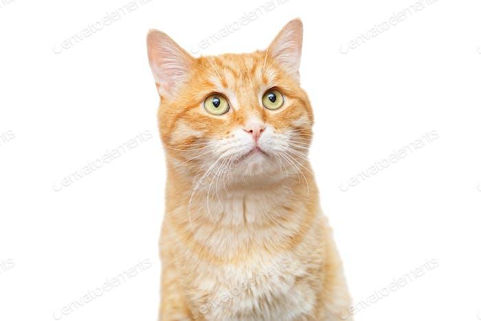 Beautiful, big ginger cat
