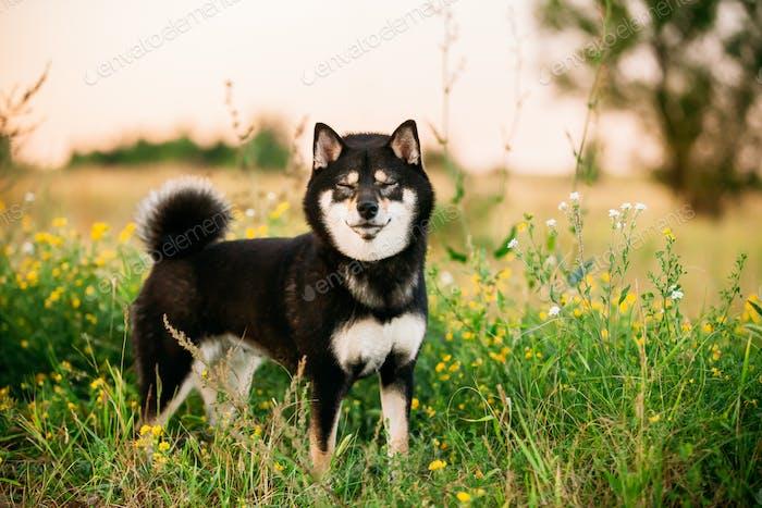 Lustige Black And Tan Shiba Inu Hund Outdoor In Gras.