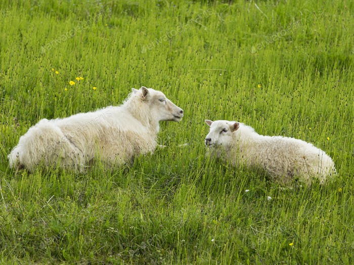 Two sheep with thick fleeces lying in a grass meadow.