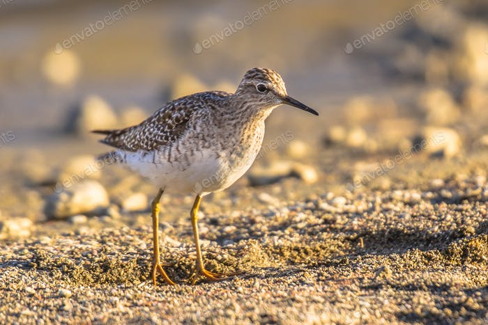 Common sandpiper during migration on Cyprus beach