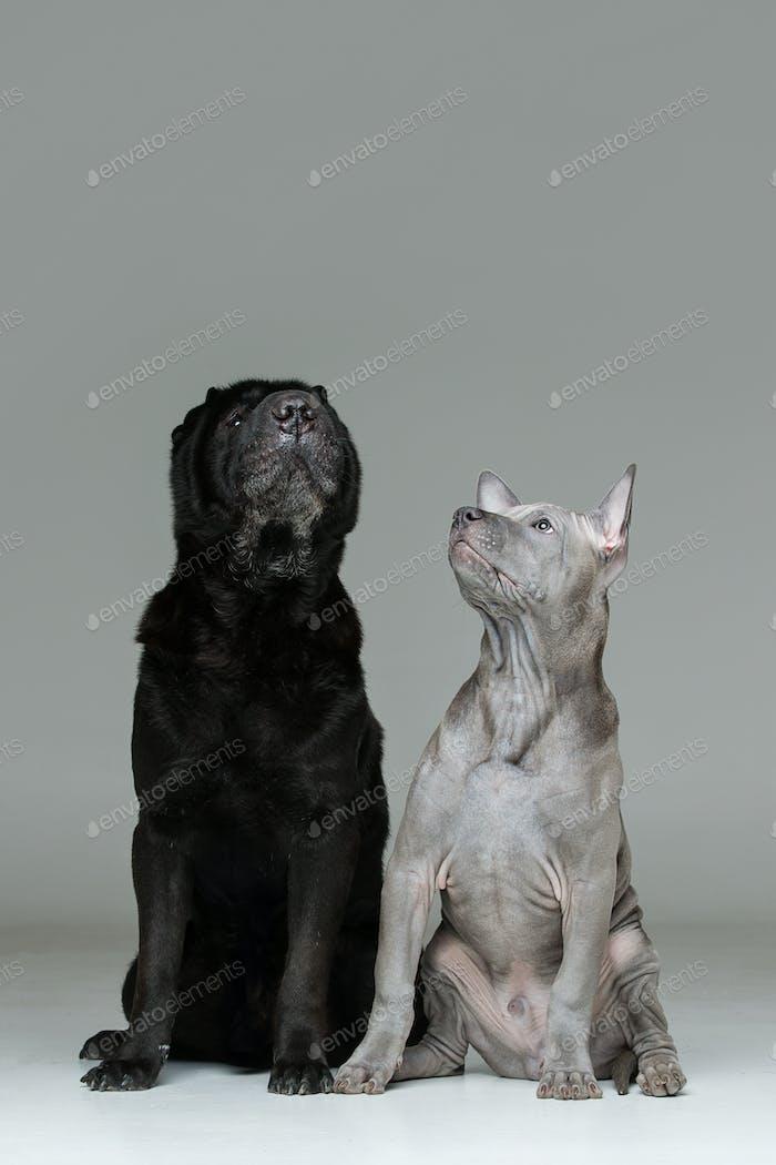 thai ridgeback puppy and shar pei dog
