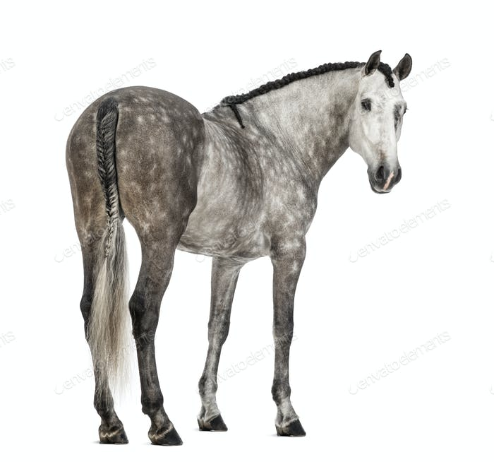 Rear view of an Andalusian, 7 years old, looking back, also known as the Pure Spanish Horse