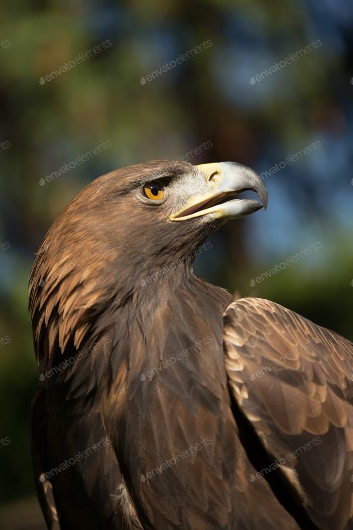 Eagle Haliaeetus albicilla on green grass background