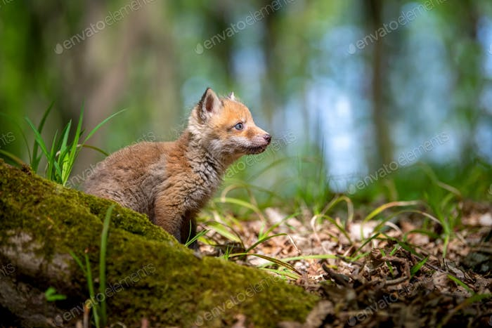 Thumbnail for Red fox, vulpes vulpes, small young cub in forest