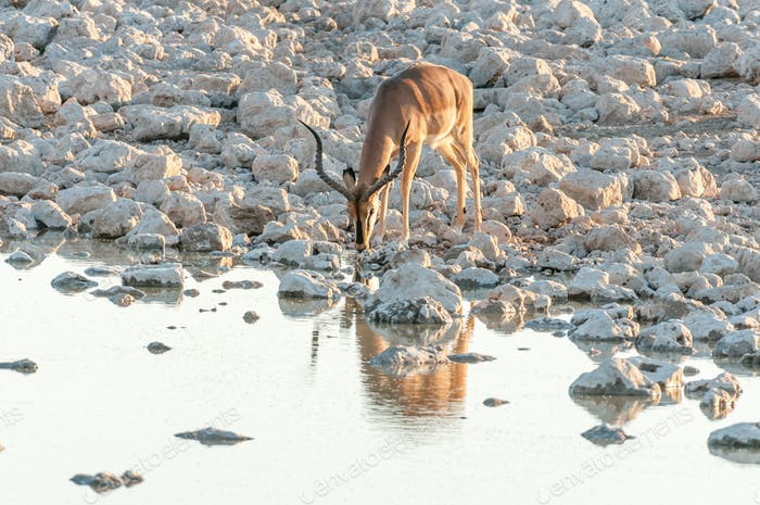 Impala ram, (Aepyceros melampus), drinking water at sunset