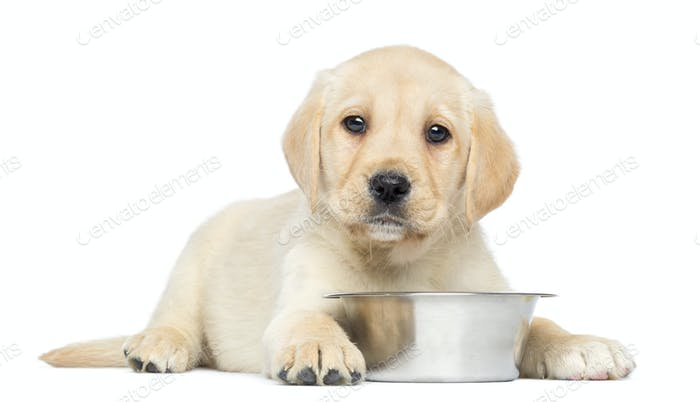 Labrador Retriever Puppy, 2 months old, lying down with metallic dog bowl, isolated on white